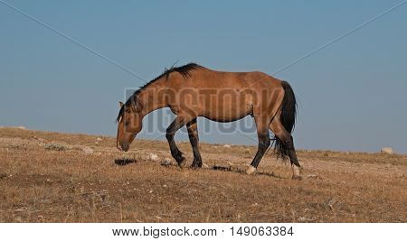 Wild Horse Dun Buckskin Stallion climbing up Tillett Ridge above Teacup Bowl in the Pryor Mountains in Montana - Wyoming USA