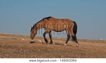 Wild Horse Dun Buckskin Stallion climbing up Tillett Ridge above Teacup Bowl in the Pryor Mountains in Montana - Wyoming USA poster