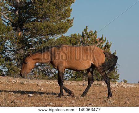 Wild Horse Dun Stallion on Tillett Ridge above Teacup Bowl in the Pryor Mountains in Montana - Wyoming USA