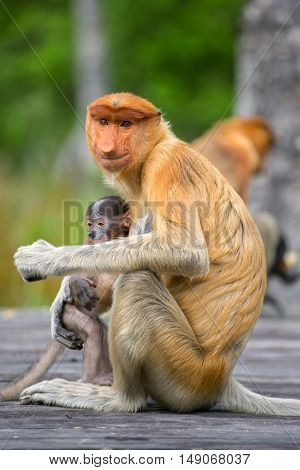 Proboscis Monkey (Nasalis larvatus) endemic  of Borneo.  Female with baby sitting on the feeding platform.