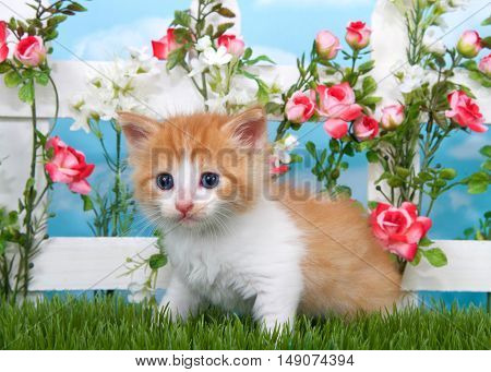 Adorable long haired orange and white tabby kitten sitting in long grass with white picket fence in background pink roses and white flowers on fence sky background with clouds.