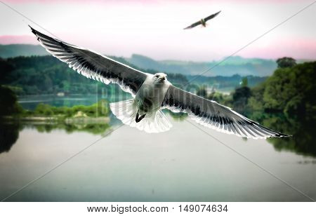 Close up of white seagull flying above the lake. (Photo combination - collage of photos)