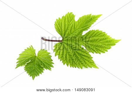 The leaves of hops isolated on white background closeup.