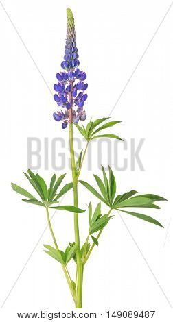 lilac lupine flower isolated on white background