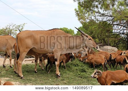 Big Common Eland Or Antelope