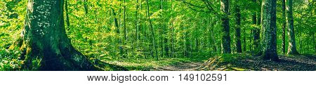 Green Beech Forest In A Panorama Scenery