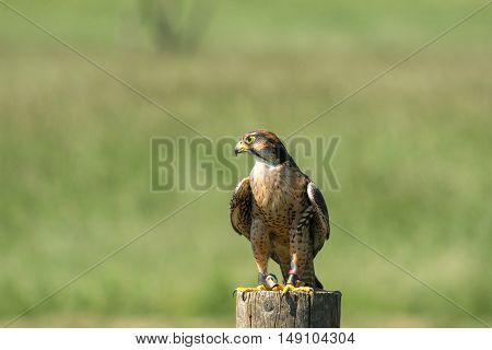 Kestrel Sitting On A Wooden Pole