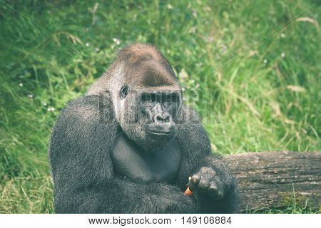Cute Gorilla Eating A Carrot