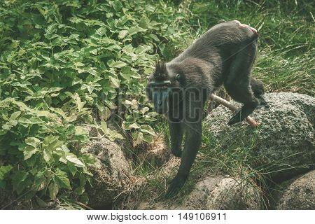 Macaca Nigra Monkey Climbing On Rocks