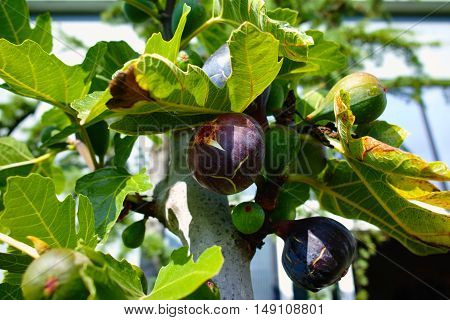 Ripe and green figs on the branch of a fig tree