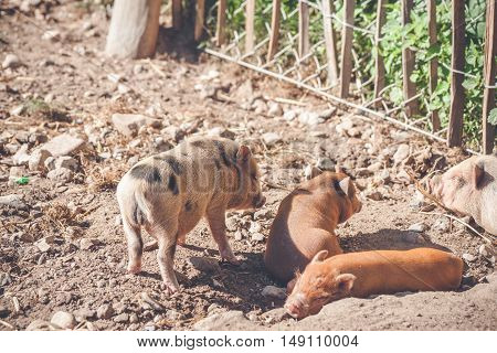 Barnyard With Cute Piglets