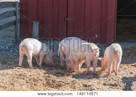 Barnyard With Four Pink Pigs