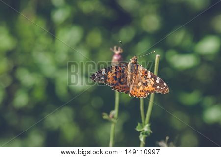 Vanessa Cardui Butterfly In Orange Colors