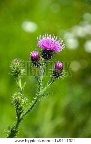 Closeup of a violet flowering welted thistle or Carduus crispus plant in its own natural habitat on a sunny day in the summer season..