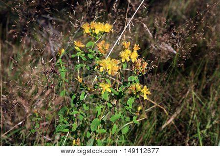 St John's wort yellow flower on summer meadow.