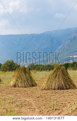 Field With The Drying Sesame Seeds 1