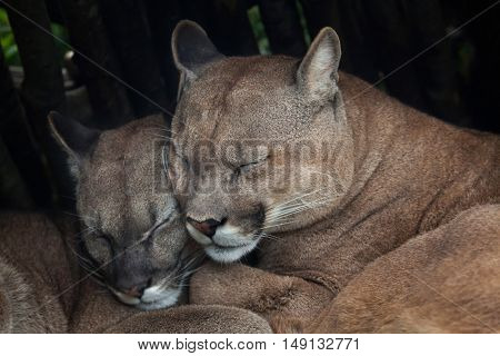 Chilean cougar (Puma concolor puma), also known as the Chilean puma. Wildlife animal.