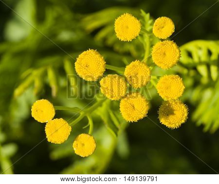 Blooming common tansy tanacetum vulgare golden buttons macro selective focus