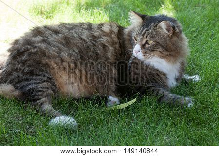 Longhair cat sitting in the grass and watching attently on its side.