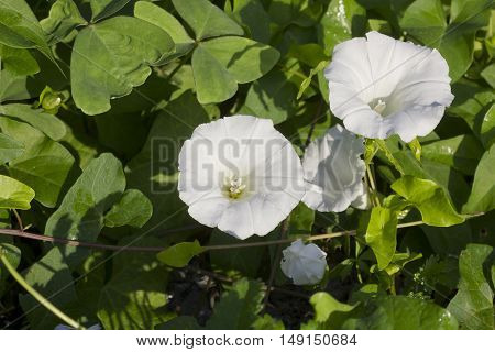 A pair of hedge bindweed (Calystegia sepium), view from above.