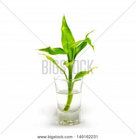 Dracaena braunii plants in flower glass on white background.