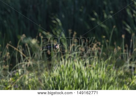 Wood Duck makes eye contact while banking over marsh in early morning