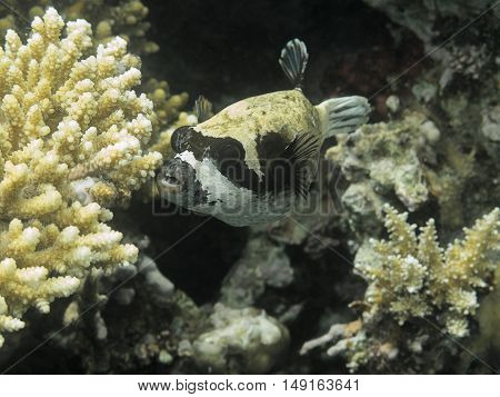 Puffer Fish. Red Sea. Egypt