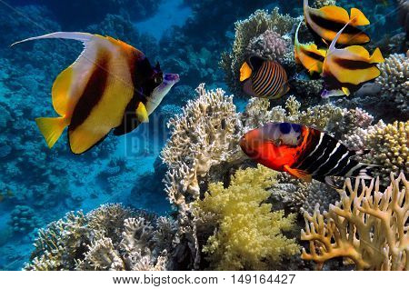 Tropical fish Pennant coral fish or coachman Red sea Egypt