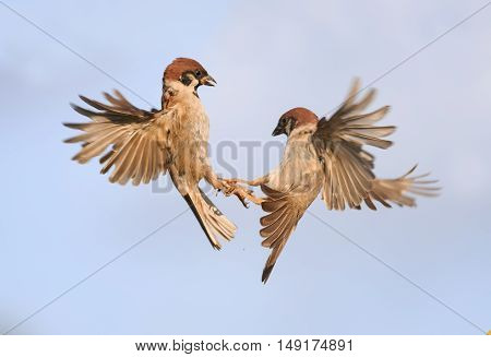 two birds sparrows grappled with his paws and circling in the sky