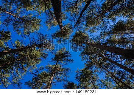 Summer pine tree crones in Burabai Nature National park, Kazakhstan