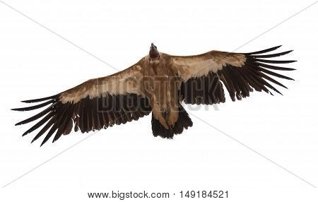 Vulture on white background bird eye view.