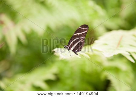 Beautiful Butterfly Heliconius Charitonius On Green Leaf