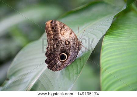 Beautiful Morpho Peleides Butterfly On Green Leaf