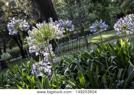 sun light on the Agapanthus africanus in retiro Park. Madrid Spain