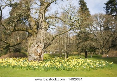 Daffodils Around The Oak