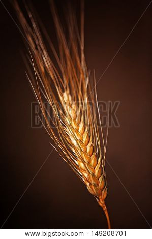 One stalk with ear of ripe wheat on a dark background