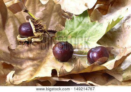 Horse-chestnut (Aesculus hippocastanum) on autumn chestnut leaves.