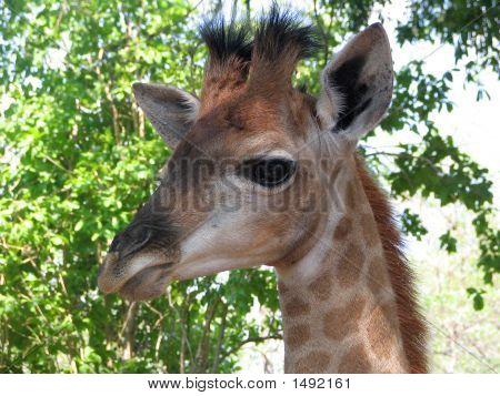 Jirafa bebé