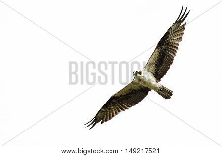 Lone Osprey Making Direct Eye Contact While Flying in a Blue Sky