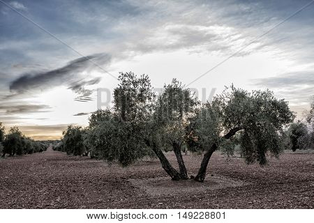 Olive tree from the picual variety near Jaen Spain