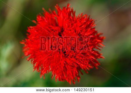 Beautiful red poppy flowers on a countryside field in summer season.