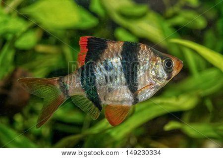 Portrait Of Barb Fish (puntius Tetrazona) In Aquarium