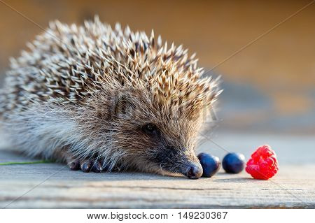 A young hedgehog with a raspberry and blueberries on a wooden floor.