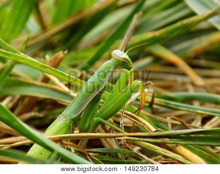 Mantis on grass on meadow in wild nature