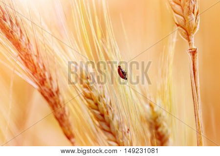 Ladybug on the ear of wheat in sunset light.