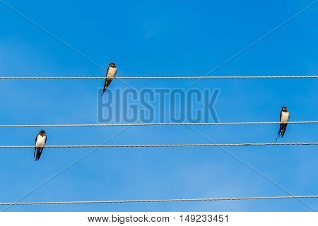 A group of migrating swallows sitting on electric wires.
