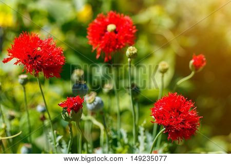 Beautiful red poppy flowers on a countryside field in summer season.