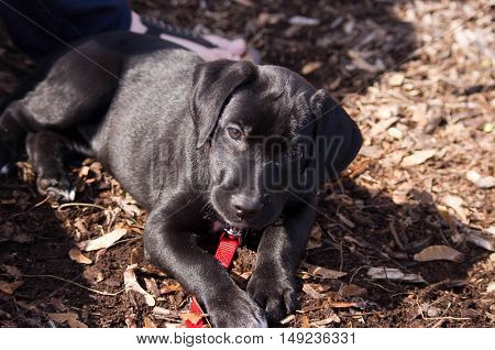 black lab puppy laying down in a park setting.