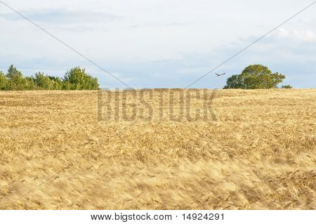 Agricultural Fields With Trees
