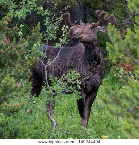 Male Moose Inspects Plant For A Snack